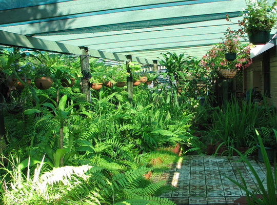 The ferns have taken over the greenhouse.