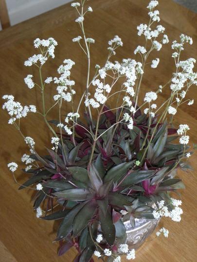 crassula rosularis (crassula rosularis)