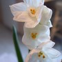 Paperwhite Narcissus 'Inbal'