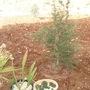 lebanese cedar (lebanese Cedar)