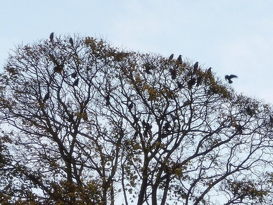 Rookery - too many to count !