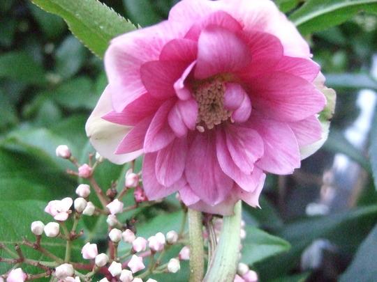 New pink Hellebore. (Helleborus orientalis (Lenten rose))