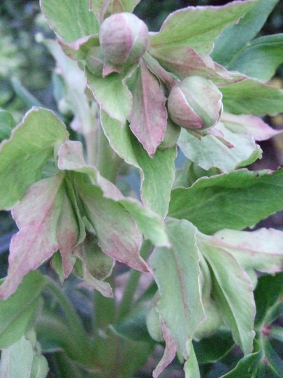 Helleborus foetidus buds (Helleborus foetidus (Hellebore))