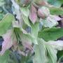 Helleborus_foetidus_buds