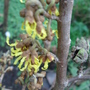 Hamamelis in flower - January 2009 (Hamamelis x intermedia (Witch hazel))