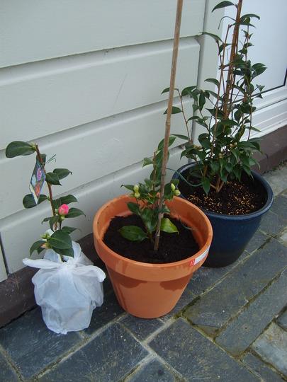New camellias.