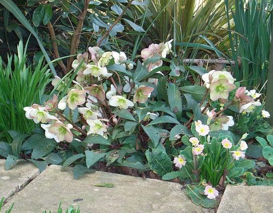 Helleborus x ericsmithii in full flower (Helleborus x ericsmithii)