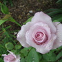 Another rose in our school garden.