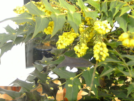 Mahonia flowering it's heart out.