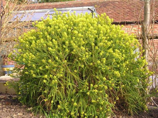 south african shrub