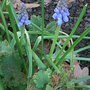 Muscari (Muscari armeniacum (Grape hyacinth))