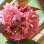 begonia_blooms.jpg