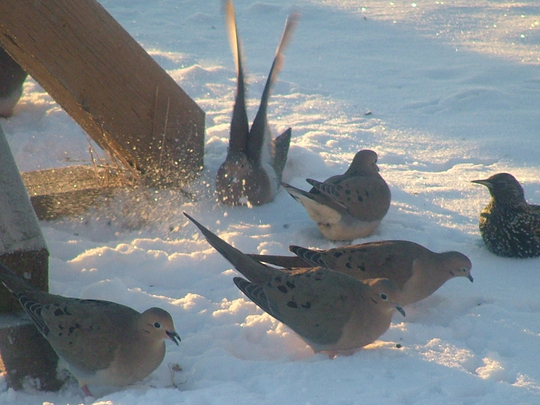 mourning_doves_snow_bath.jpg