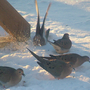 Mourning_doves_snow_bath