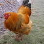 Hagrid_our_brahma_rooster