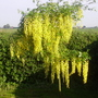 Our young Laburnum (Labernum)