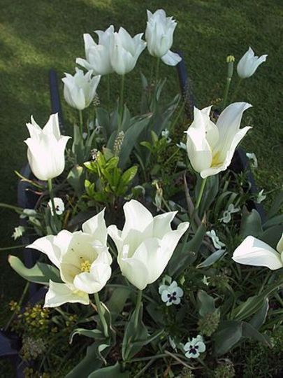 White Tulips in wheel barrow (Tulipa acuminata (Tulip))
