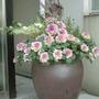flowering kales