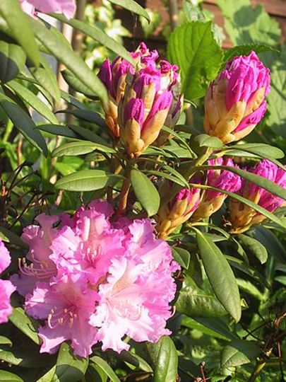Rhododendron ~ bright pink petals :-)