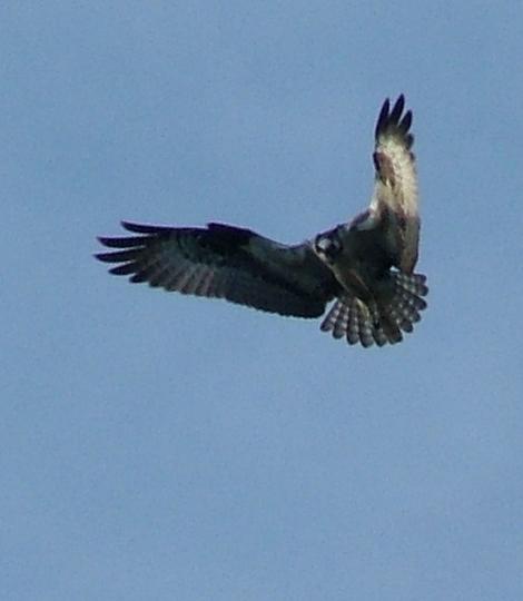 osprey_hovering.jpg