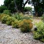 B_Baueri_hedge_s.jpg (Banksia baueri)