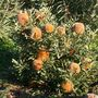 B_Baueri_6950s.jpg (Banksia baueri)
