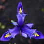 Blue Iris ~ Macro