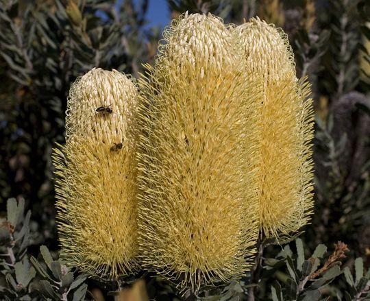 B_Sceptrum_flower_2779s.jpg (Banksia sceptrum)