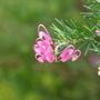 Grevillea - close-up (Grevillea)