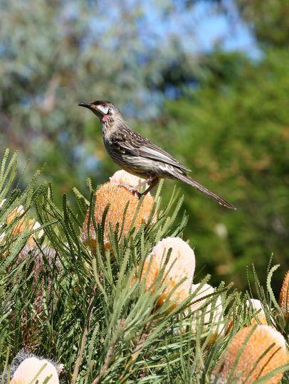Wattle_Bird_02s.jpg (Banksia sceptrum)