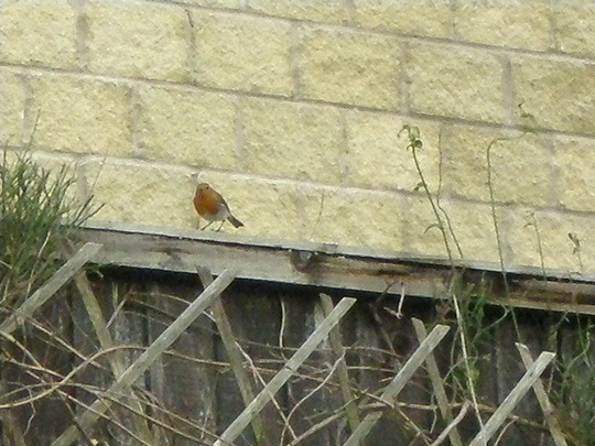 robin on the fence at the back of my garden