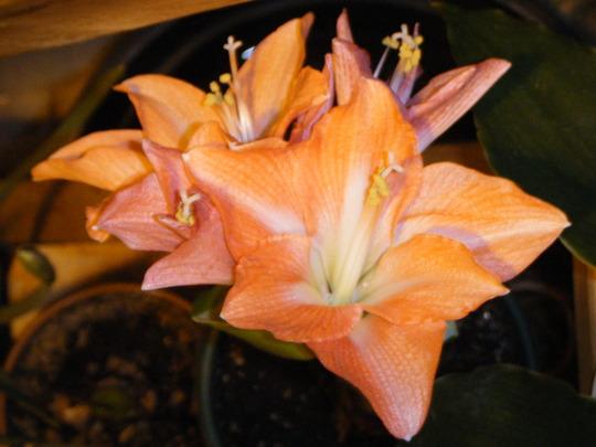 'Charmeur' Finally (Hippeastrum papilio (Butterfly amaryllis))