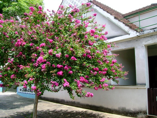 Framing a house (Lagerstroemia Indica)