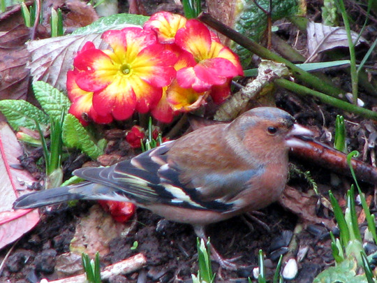 Primrose and Chaffinch ~ February 2008