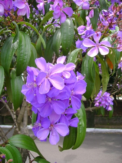 tibouchina purple close (Tibouchina urvilleana (Lasiandra))