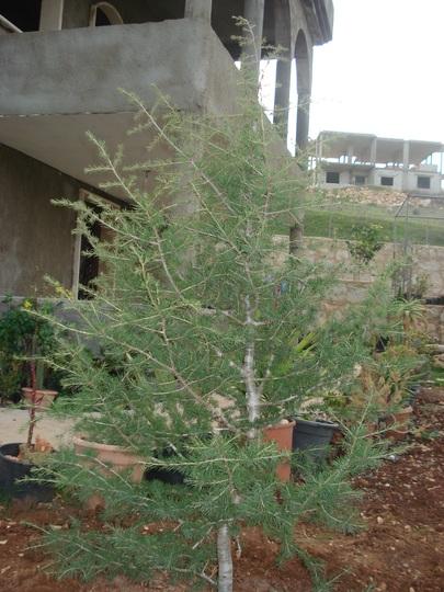 Cedar of Lebanon (Cedrus libani)