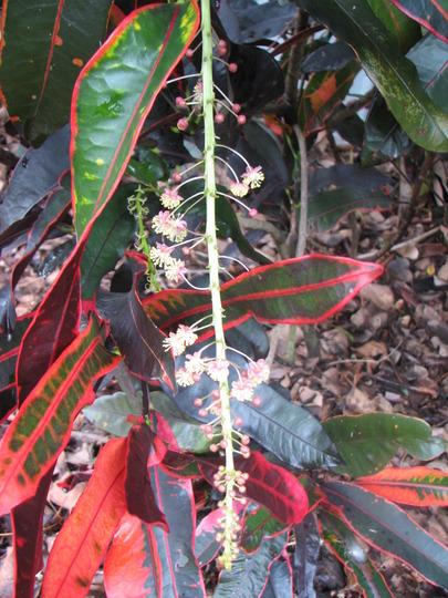 The longest flower spike I've seen on a croton. (Codiaeum variegatum)