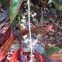 Croton_flower_2