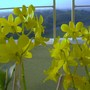 Yellow_orchids2