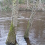 Trees_in_river