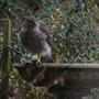 Sparrow_Hawk..jpg