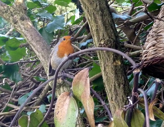 Robin looking to roost?