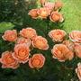 Front garden Patio/shrub Roses
