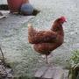 Frozen chicken!