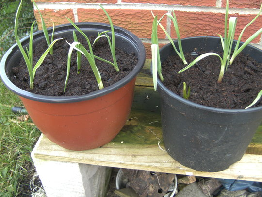 garlic pots. (garlic)