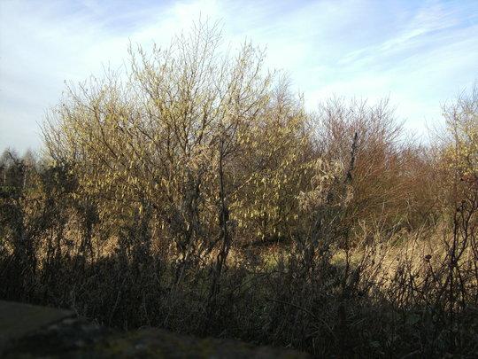 Spring is coming (catkins, Hazel)