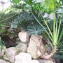 Philodendron bipinnatifudum (philodendron bipinnatifidum)