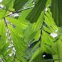 Caryota - Fishtail Palm (Caryota mitis (Burmese Fishtail Palm))