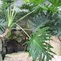Philodendron bipinnatifudum (Philodendron bipinnatifidum (Banana de Imbe))