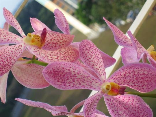 speckled purple orchid (mokara)